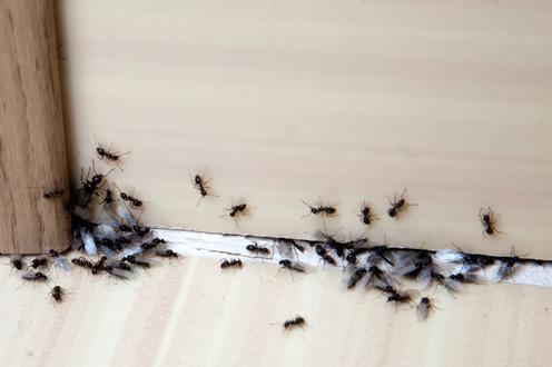ants_control_advance_pest