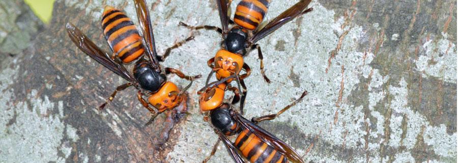 asian-giant-hornet-bc