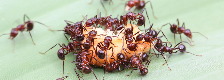 fire_ants_control