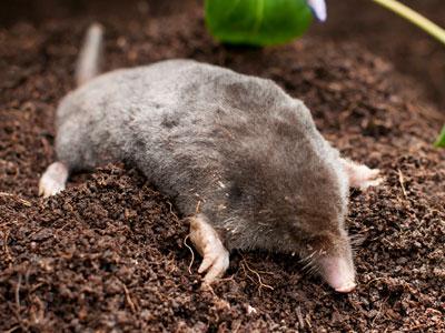 moles_pest_control_Vancouver