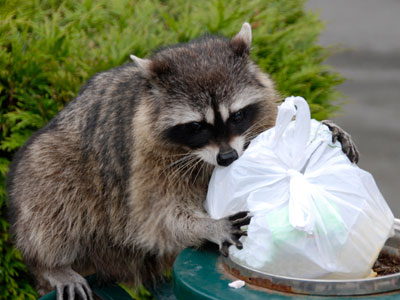 racoons_pest_control_burnaby