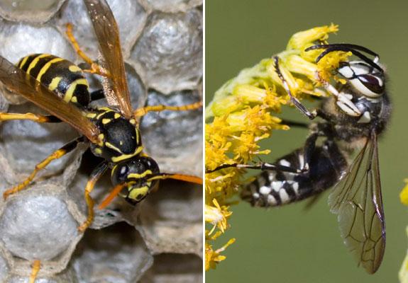 wasp_advance_pest